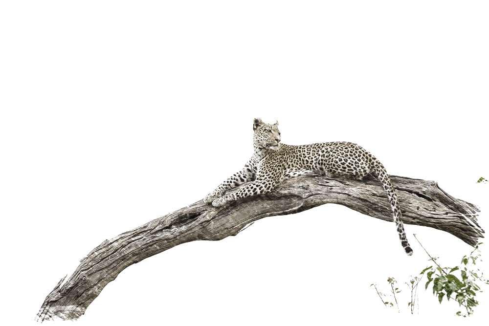 Leopard Log 1 of 1