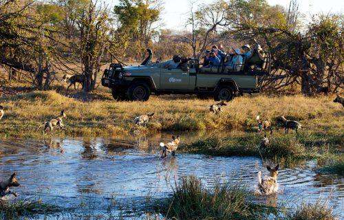 Kwando-Kwara-wild-dogs-close-to-vehicle